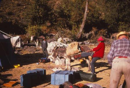 CORDILLERA BLANCA, PERU - AUG 21, 1979 - Muleteer putting load on mule at start of trekking day, Peruvian Andes