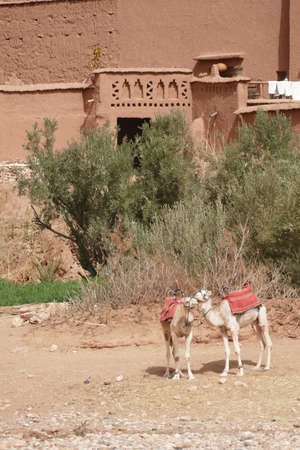 Camels at the base of the hilltop village of Ait ben Haddou,  Morocco, Africa Standard-Bild - 120704665