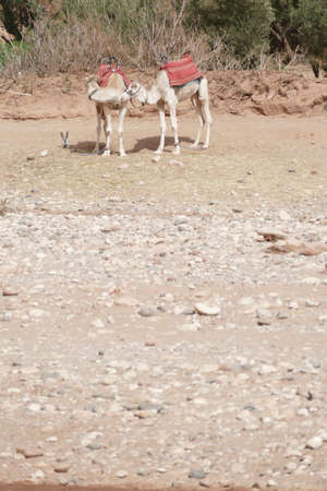 Camels at the base of the hilltop village of Ait ben Haddou,  Morocco, Africa Standard-Bild - 120704747