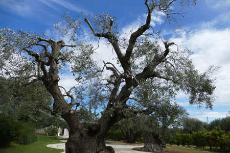 Ancient olive trees at a masseria near Brindisi, Puglia, Italy