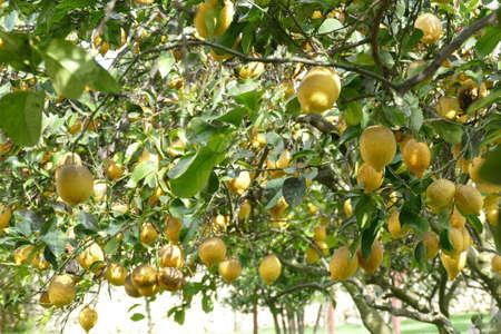Lemons trees in the garden of Masseria Trapana, Lecce, Puglia, Italy Standard-Bild - 121490226