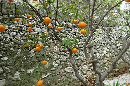 Orange trees in the garden of Masseria Trapana, Lecce, Puglia, Italy Standard-Bild - 121490366