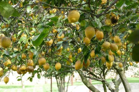 Lemons trees in the garden of Masseria Trapana, Lecce, Puglia, Italy Standard-Bild - 121490446
