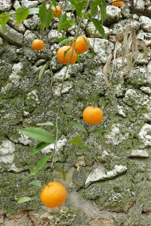 Orange trees in the garden of Masseria Trapana, Lecce, Puglia, Italy 스톡 콘텐츠