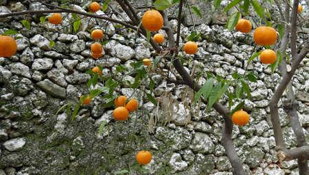 Orange trees in the garden of Masseria Trapana, Lecce, Puglia, Italy Standard-Bild - 121492332