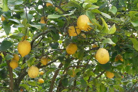 Lemons trees in the garden of Masseria Trapana, Lecce, Puglia, Italy