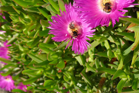 Bumblebee collecting pollen from ice plant on  Pomena, Mljet Island, Croatia
