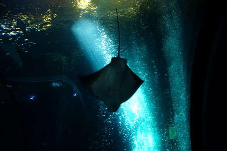 Mantarochen schwimmen in einem riesigen Tank in Newport, Oregon Standard-Bild