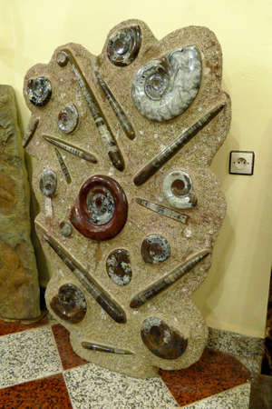 Ortoceras and ammonite fossil slab in shale, hundreds of millions of years old, Erfouad,  Morocco, Africa
