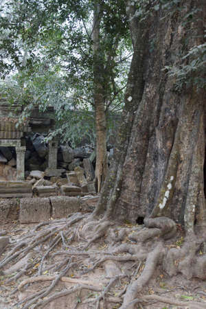 Huge tree roots engulf the ruined temple of Ta Prohm,  Siem Reap, Cambodia