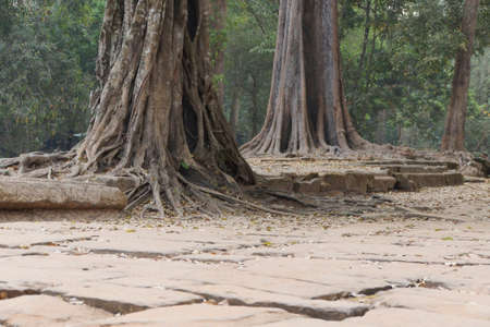 Strangler fig with perfectly straight air-roots that dropped downSambor Pre Kuk, Kampong Thom,  Cambodia