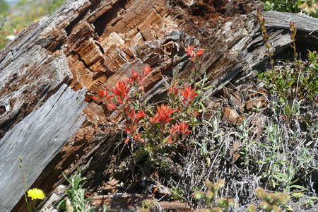 Scarlet Indian paintbrush  ( family Orobanchaceae genus Castilleja  ) on snag stump, Mount St. Helens National Volcanic Monument, Washington