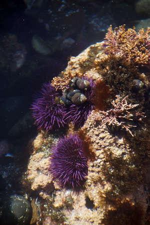 Purple sea urchins in tidepool, ( Strongylocentrotus purpuratus ),  Cobble Beach, Yaquina Head,  Oregon Coast Imagens