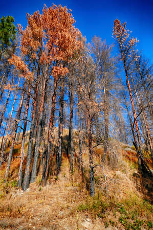 Aftermath of forest fire with pines  in the central Cascade mountains, early autumn, eastern Washington 免版税图像