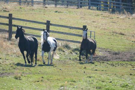 Horses running across pasture along the Teanaway river near Cle Elum in eastern Washington