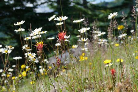 White wildflowers on the hillside of Windy Ridge, Mount St. Helens National Volcanic Monument, Washington