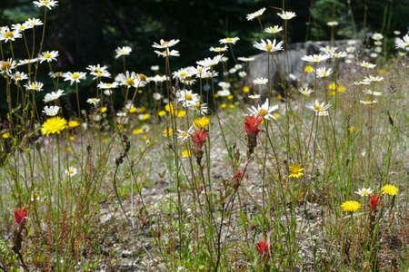 White wildflowers on the hillside of Windy Ridge, Mount St. Helens National Volcanic Monument, Washington 版權商用圖片 - 132149862