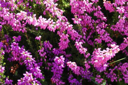 Flowering purple heather in a summer Seattle garden, Washington
