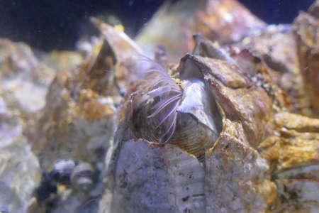 Giant acorn barnacles  ( Balanus nubilus ) with feeding filaments,  Newport, Oregon Stock fotó