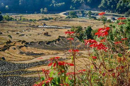Pointsettia in the hills above Punakha,  Bhutan Banco de Imagens
