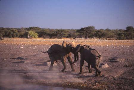 Elephants sparring at water hole, Etosha, Namibia, Africa