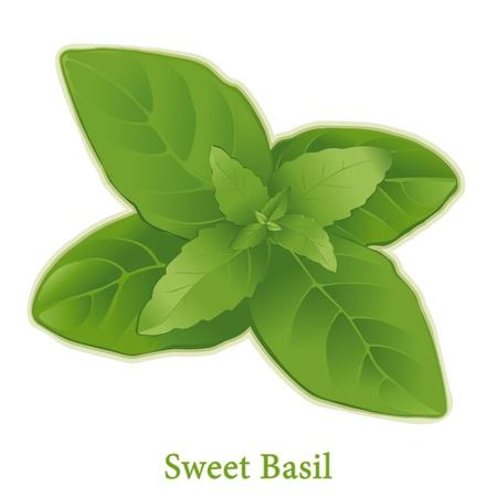 basilico: Albahaca, hojas de hierbas arom�ticas con sabroso para cocinar en muchas cocinas. Vectores