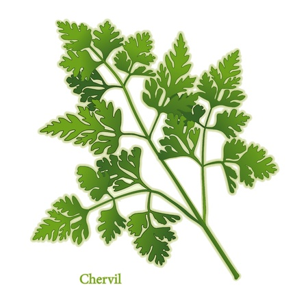 herb garden: Chervil Herb, delicate, lacy leaves, light aroma, taste of anise, to flavor fish, salads, soups, omelets. Illustration