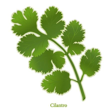 Cilantro Herb, aromatischen Blätter zum Würzen mexikanisch, lateinamerikanisch, asiatische Küche. Auch als chinesische Petersilie.