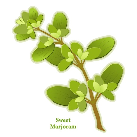 herbes: Marjoram Herb, sweet scented leaves season meats, poultry, soups, stews, omelets.  Illustration