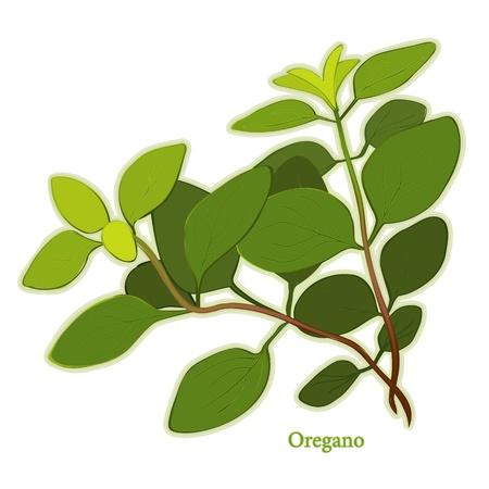 Italiaanse Oregano Herb, bladeren aromatische gebruikt als smaakmaker in het Italiaans, Mediterraan, Latijns-keukens, vlees, gevogelte, soepen, stoofschotels. Stock Illustratie