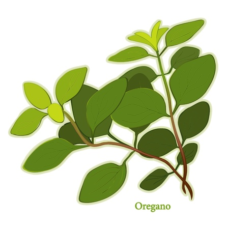 Italian Oregano Herb, aromatic leaves used as seasoning in Italian, Mediterranean, Latin cuisines, meats, poultry, soups, stews. Stock Vector - 12136884