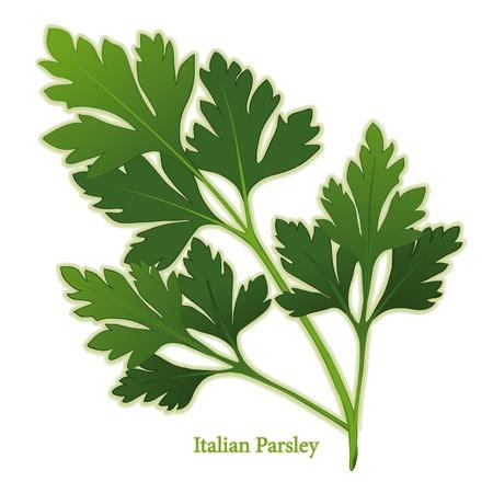 Italiaanse Peterselie, ook wel platte peterselie. Aanbevolen variëteit voor koken en garnituren. Vector Illustratie