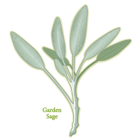Garden Sage Herb, aromatic leaves used in cooking meats, poultry, stuffing. Medicinal use.  Vector