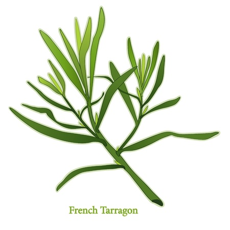 herbes: French Tarragon Herb, aromatic leaves used in cooking, salads, dressings, herb vinegars. Classic ingredient of French herb blend, Fines Herbes. Illustration