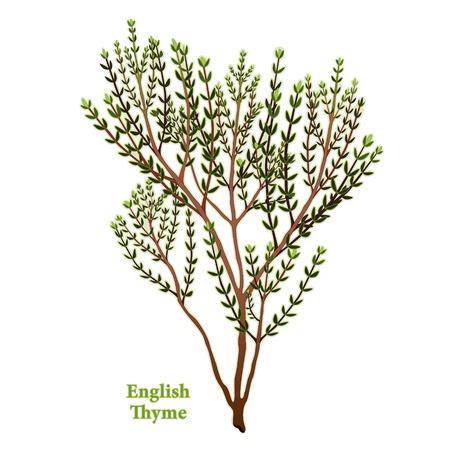 tomillo: Hierba de tomillo Inglés, fragante, jardín de hierbas utilizado para las carnes de temporada, guisos, verduras, aves de corral. Vectores