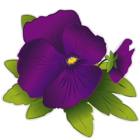 보라색 팬지 꽃 일러스트