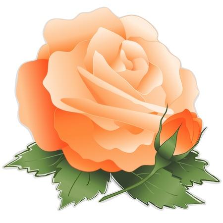 アプリコットのバラの花  イラスト・ベクター素材