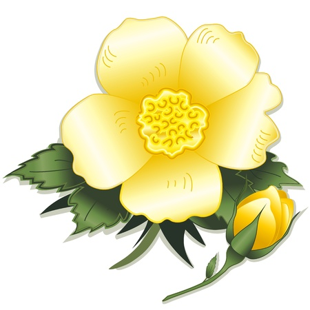 wild botany: Wild Prairie Yellow Rose Flower Illustration