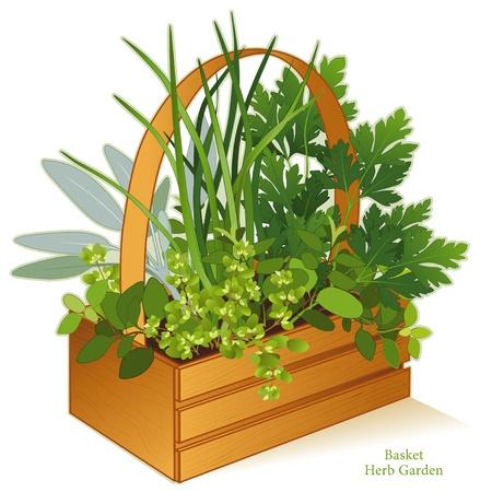 Herb Garden in houten mand Planter met gastronomische keuken kruiden, links-rechts Italiaanse Oregano, Salie, Bieslook, platte peterselie, marjolein EPS8 compatibel Zie andere kruiden en specerijen in deze serie