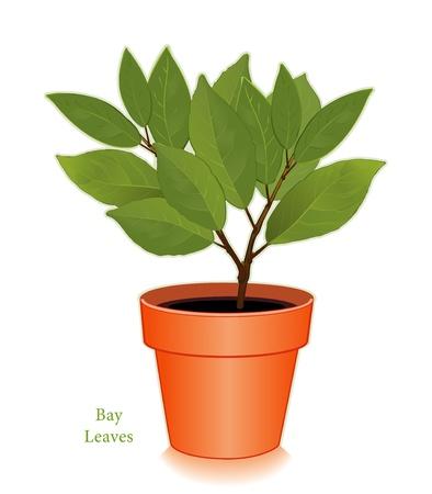 Bay Laurel Tree Stock Vector - 12797398