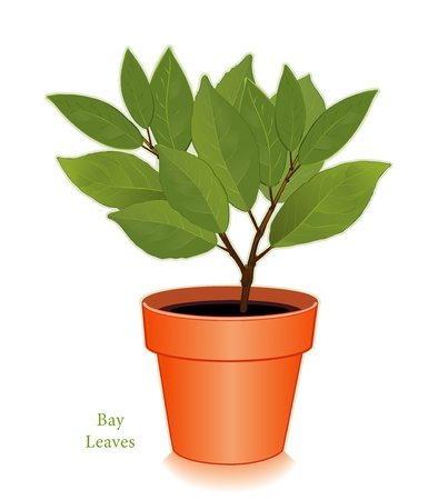 dyi: Bay Laurel Tree Illustration