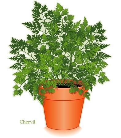 Chervil Herb Plant Stock Vector - 12797405