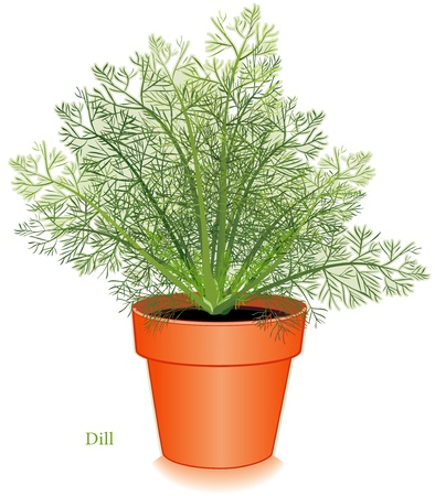 Dill Herb Plant Stock Vector - 12797408