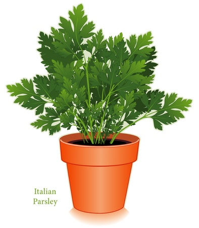 planter: Italian or Flat Leaf Parsley Illustration