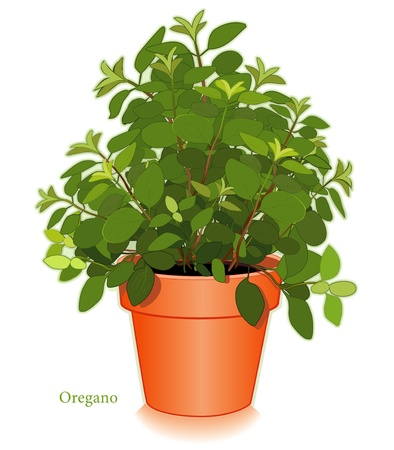 plant in pot: Italiaanse Oregano Herb Plant Stock Illustratie