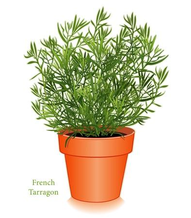 Francese Dragoncello Herb impianto Vettoriali