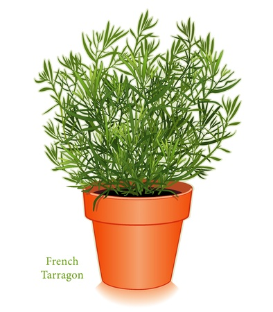 herbes: French Tarragon Herb Plant Illustration