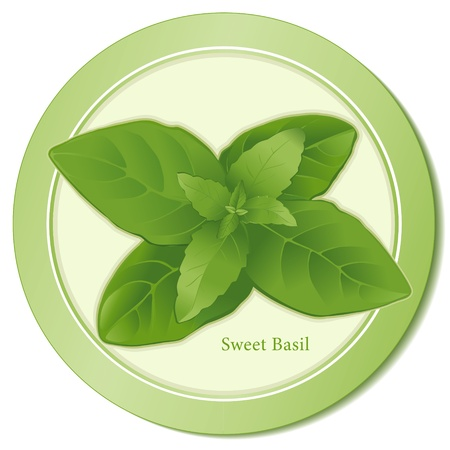 basil leaf: Sweet Basil Herb Icon Illustration
