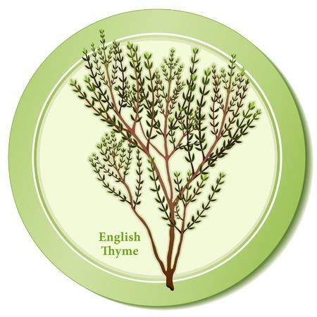 English Thyme Herb Icon Stock Illustratie