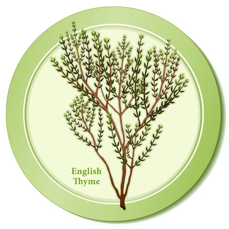 thyme: English Thyme Herb Icon Illustration